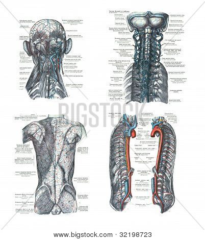 4 Views Of The Human Head, Spine, And Back