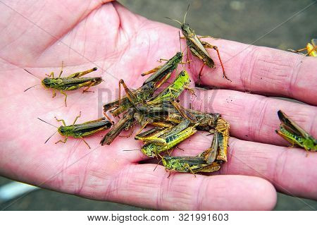 A Lot Of Locusts On A Mans Palm. Locust Invasion