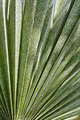 Dwarf fan palm leaf - Latin name - Chamaerops humilis poster