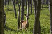 The white-tailed deer (Odocoileus virginianus) lying in tall grass on the forest poster