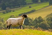 portait of a sheep /ram looking in to the distance poster