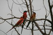 carmine bee-eater feeding a chick poster