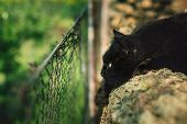 Image - Close up portrait of tomcat (Chantilly Tiffany) laying on the woods in the garden and looking through the hole in fence. Black longhaired cat hunting and watching for someone. Cat relaxing poster
