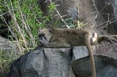 baboon resting on rock poster