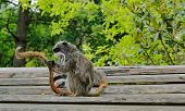 Closeup portrait of a Emperor Tamarin Saguinus imperator, primate in a tree on a bright, vibrant and sunny day. poster
