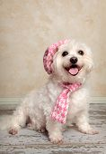 Trendy fashion pooch with matching hat and scarf sitting on a rustic wooden floor. poster