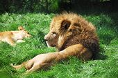 Lion relaxing in the grass and looking around. poster