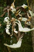 Skulls of small mammal animals tied with ropes hanging on a tree.Skulls, their parts and bones of small mammals hang tied by ropes on a tree. poster