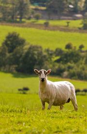 Single sheep on hill, grazing