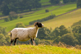 sheep / ram looking away