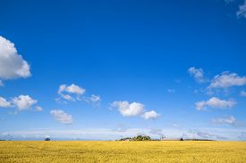 Farm In A Countryside Landscape With Golden Fields Under A Blue Sky In The Summer
