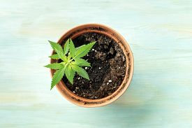 Growing Cannabis At Home. A Young Hemp Plant In A Pot, Shot From The Top On A Teal Background With C