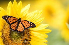 Monarch Butterfly, Danaus Plexippus, On Bright Yellow Sunflower On A Sunny Summer Morning