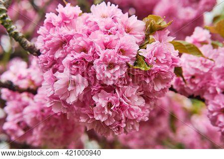Beautiful Blooming Sakura Prunus Serrulata Macro Detail