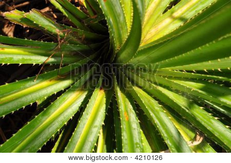 Thorny Plant With Spiraling Shape