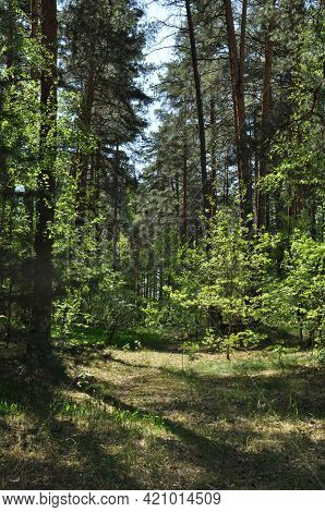 Panoramic View Of The Spring Forest. Forest Path On A Clear Sunny Spring Day.