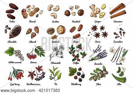 Vector Food Icons Of Nuts, Berries, Herbs. Colored Sketch Of Food Products. Dates, Peanuts, Chocolat