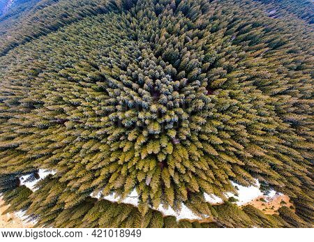 Aerial View Of Dense Green Pine Forest With Canopies Of Spruce Trees In Autumn Mountains.