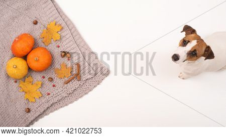 The Dog Lies Next To The Autumn Flat Lay. Pumpkins And Maple Leaves Viburnum And Cinnamon And Acorns