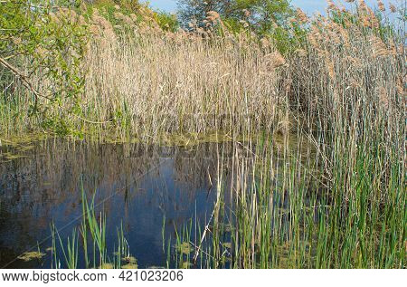 Reed Bed In The Yagorlyk National Reserve On The Kinburn Spit. Kinburnsky Cape Or Kinburnskaya Spit