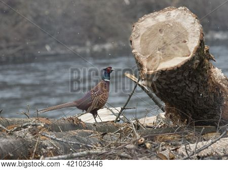 Pheasant Bird With Colorful Plumage