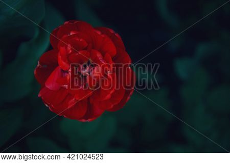 Background Of The Flower Arrangement. A Bouquet Of Red Helleborus Flowers And Eucalyptus Leaves On A