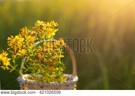 Bouquet Of St. John\'s Wort In The Basket On Background Of Grass In A Sunbeam. Medicinal Herbs, Tea