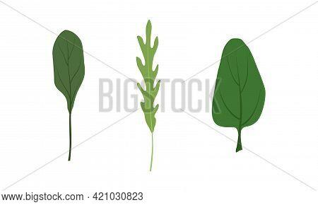 Salad Green Leaves And Leafy Vegetables Set, Arugula, Collard, Spinach, Organic Vegan Healthy Food V