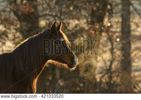 Dark bay Arabian horse on an early winter morning, with sunrise lighting up his outline and his steamy breath