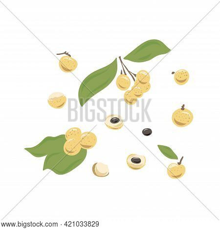 Longan Vector Drawing. Hand Drawn Tropical Fruit Illustration. Colorful Summer Fruit. Whole And Slic