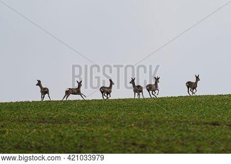 Herd Roe Deers Running On Meadow. Capreolus Capreolus. Wild Roe Deer In The Nature Habitat. Wildlife