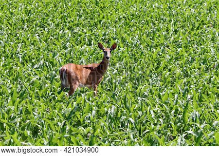 Fawn Deer Standing In A Low Corn Field In Bright Natural Sunlight
