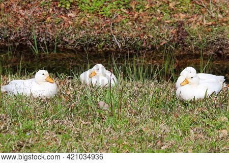Wild White Geese Ducks Resting Next To A Cool Slow Moving River In A Natural Park Or Backyard Scene