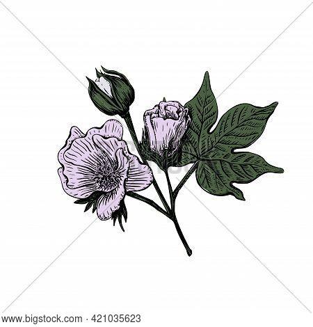Colorf Sketch Cotton Flower In Vintage Style On A White Background. Vintage Vector Illustration. Dec