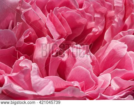Delicate Pink Rose Petals Close-up Background. Beautiful Peony Flower Head Macro Backdrop. Pale Crim
