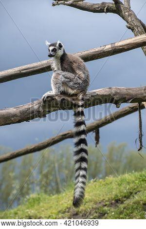 Ring Tailed Maki Catta Lemur With Big Orange Eyes. Madagascar Lemur.