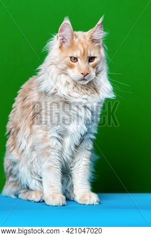 Red Tabby American Coon Cat Looking At Camera. Portrait Of Adorable Maine Coon Cat Sitting On Light