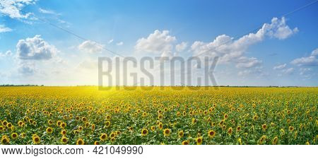 Panorama of sunflowers meadow. Composition of nature.