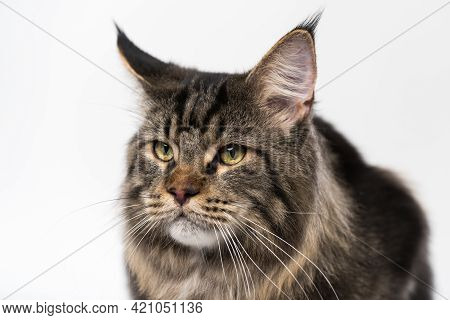 Portrait Of Mackerel Tabby American Forest Cat On White Background. Beautiful Furry Head Of Longhair