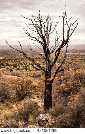Forest Fire Charred Tree Still Stands Looking Over West Texas Desert