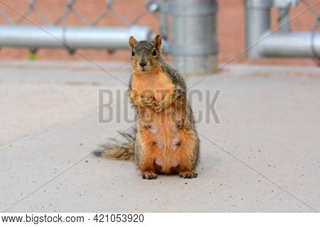 Curious Pregnant Red Fox Squirrel With Teats Standing Up And Watching Events Near Her