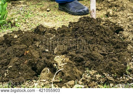 A Man With A Shovel Digs Up The Ground In The Garden