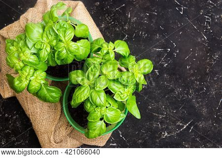 Two Buckets With Fresh Sweet Basil On A Sackcloth On A Black Table. Home Gardening Concept. Top-view