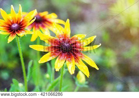 Rudbeckia Hirta, Black-eyed Rudbeckia, Campfire Rudbeckia, Commonly Called Coneflowers And Black-eye