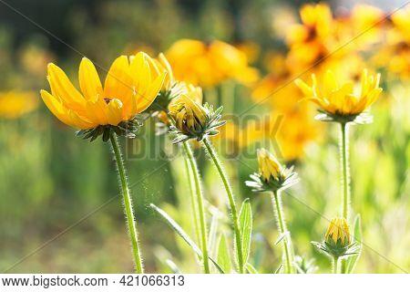 Black Eyed Susan Or Rudbeckia Hirta In Summer Garden. Sunny Day. Close Up