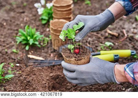 Gardener In Gloves Planting Agricultural Plant In Pot In Backyard Garden. Spring Garden Work. Farmer