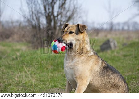Red-haired Dog. A Large Dog Holds A Ball In His Mouth, Sits On The Green Grass. Playful Animal. The