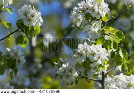 Malinae. Pear Flowers. Blooming Tree In The Garden. White Delicate Flowers And Green Young Leaves. S