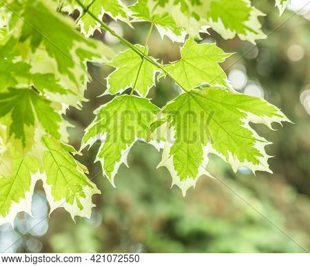 Beautiful Green-white Leaves On Blurred Natural Background.