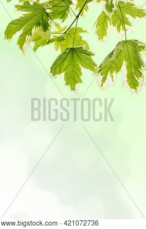 Beautiful Spring Vertical Background With Green-white Leaves On Light Green With Copy Space For Text